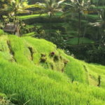 Graha Adventure Rice Paddy Trekking
